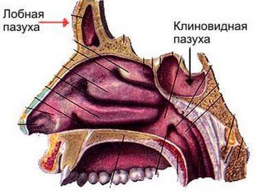 Кратко о сфеноидите
